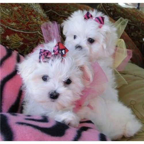Affectionate And Affordable Maltese Puppies Text Us 7249132360