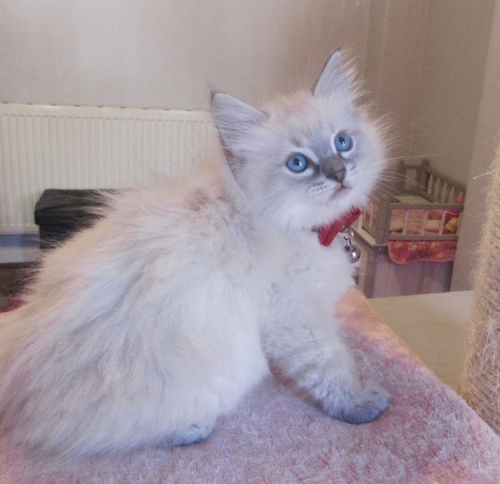 Adorable Ragdoll Kittens Available.