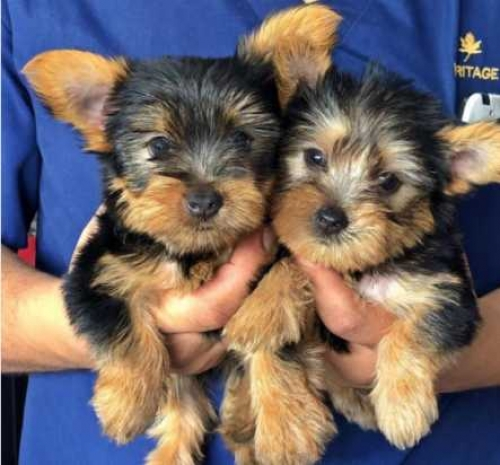 Adorable And Loving Teacup Yorkie Puppies