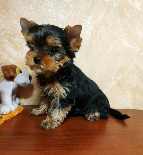 Very Healthy And Cute Yorkshire Terrier Puppies