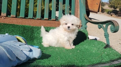 AKC Registration Maltese Pups !!