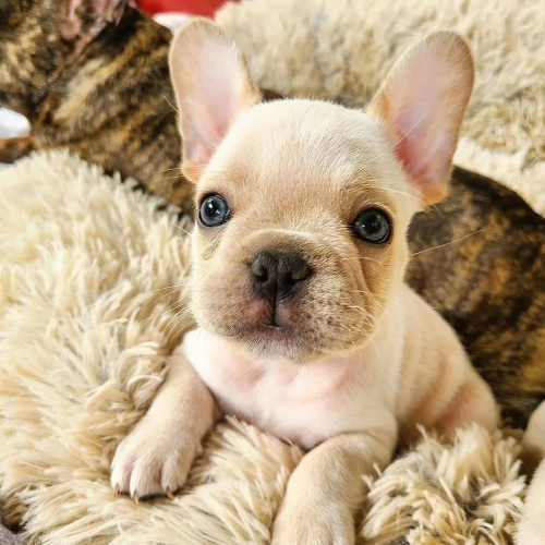 Akc Registered French Bulldog Puppies .please  Text 9514097399