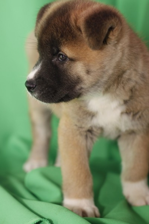 We Have Three One Male And Two Female Beautiful Special Akita Puppies For Your Family