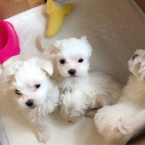 Maltese Puppies Available For New Homes