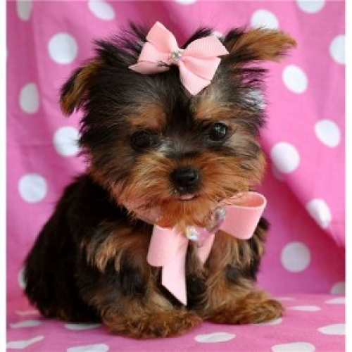 Super Adorable Yorkie Puppies Available