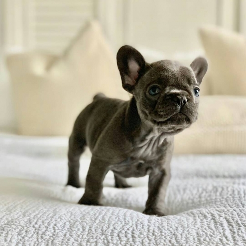 Well Trained French Bulldog Puppies 805 874-2739