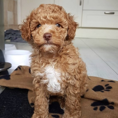 Adorable Beautiful And Handsome, Outstanding Poodle Puppies For Sale