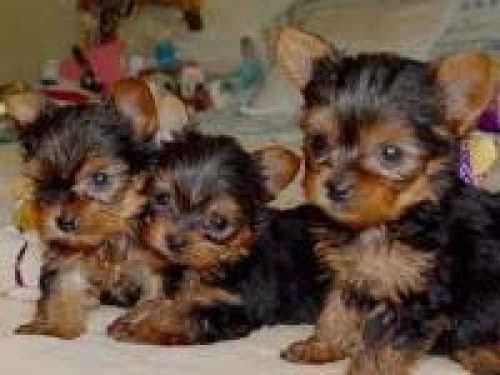 Cute Yorkie Puppies Available Forever Home 5622329808