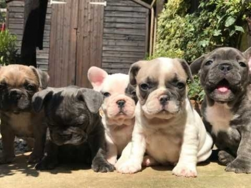 Affectionate French Bulldog Puppies Text 6572511878