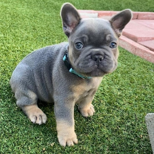 Affectionate French Bulldog Puppies For Rehoming 256 581 4205.