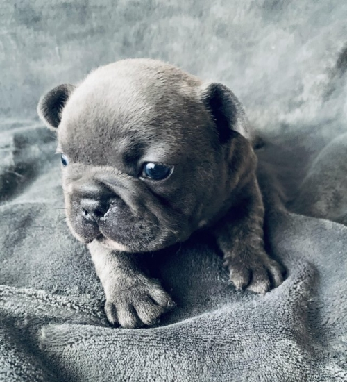 Avaibale French Bulldog Puppies Text Us 7249132360