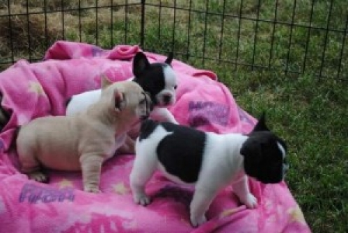 Well Trained French Bulldog Puppies Text 8143398200