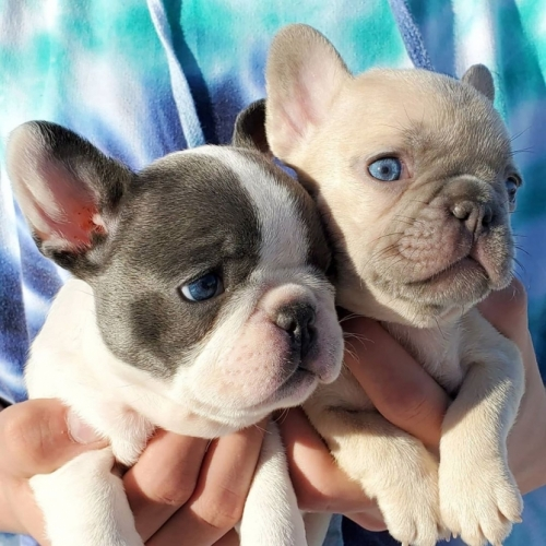 My Lovely Frenchies For Adoption Text 7173225873