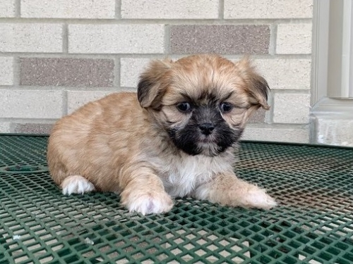 Beautiful Lhasa Apso Puppies For Your Family