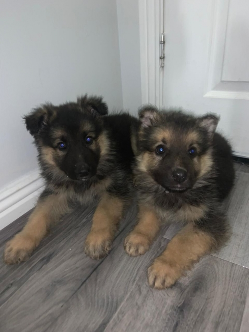 German Shepherd Puppies Text  972 848 0438