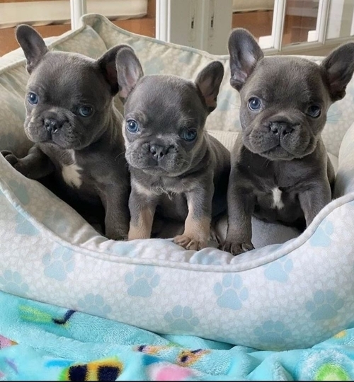 Well Trained French Bulldog Puppies Text 7173225873