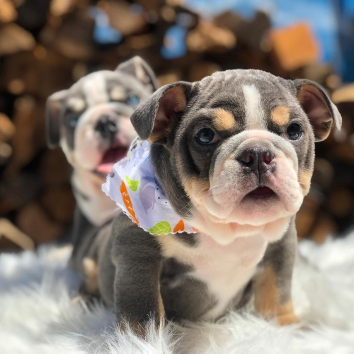 Adorable And Healthy French And English Bulldog Puppies
