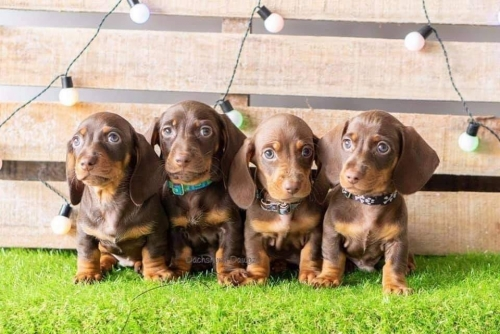 Dashshund Puppies For Adoption